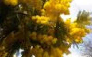 Цветы мимозы: описание с фото, размножение, время цветения, жизненный цикл, использование цветов