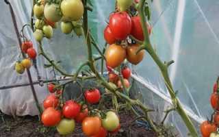 Томат Императрица: описание и характеристика, особенности посадки и выращивания, болезни и вредители, достоинства и недостатки