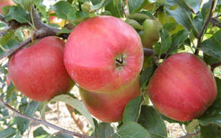 Характеристика яблони сорта Лигол