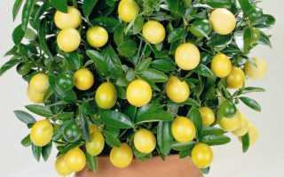 Дерево лимон