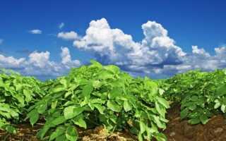 Принцип голландской технологии выращивания картофеля