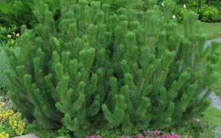 Сосна горная Гном — оригинальное дерево на радость садовнику