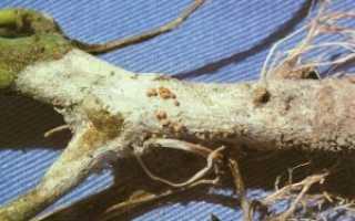 Чем и как лечить томаты от корневой гнили