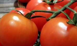 Томат Дружок: характеристика и описание сорта, урожайность, отзывы