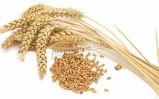 Яровая пшеница: сорта, выращивание, урожайность