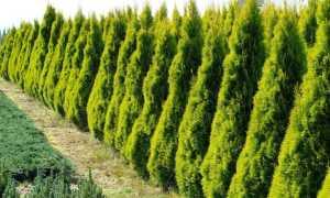 Golden Smaragd: западные виды туи, посадка, уход и выращивание в саду