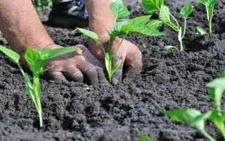 Как посадить перец в открытый грунт