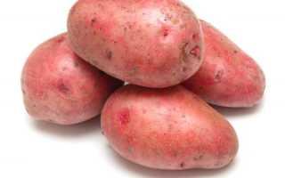 Описание картофеля Розара