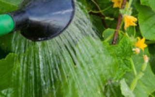 Правила полива огурцов в теплице