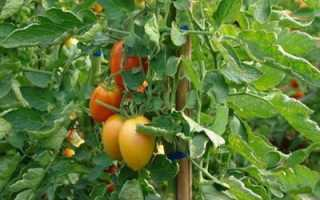 Томат раджа: описание и характеристика, особенности посадки и выращивания, болезни и вредители, достоинства и недостатки