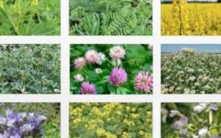 Как внести сидеральные удобрения в огород для повышения плодородия почвы?