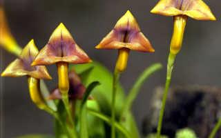 Как ухаживать за орхидеей Масдеваллия