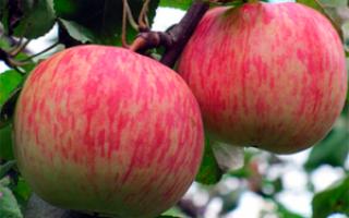 Яблоня Bellefleur Chinaman: фото и описание сорта, отзывы