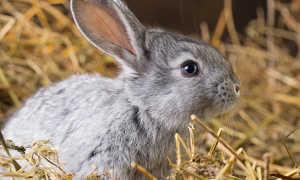 Вздутие живота у кроликов: причины, лечение, что делать?