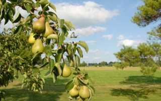Правила подкормки груши осенью