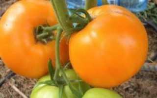 Помидор янтарно-медовый: сорт, характеристика и описание, фото, отзывы, урожайность