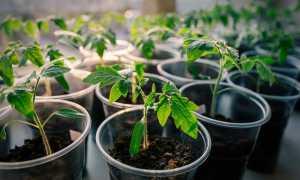 Как правильно вырастить помидоры  —  все от А до Я