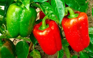 Правила посадки перца на рассаду в Подмосковье