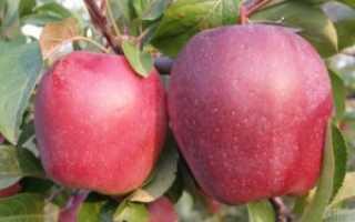 Описание яблони Глостер