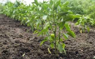 Правила выращивания перца