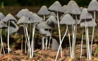 Описание грибов-сапротрофов
