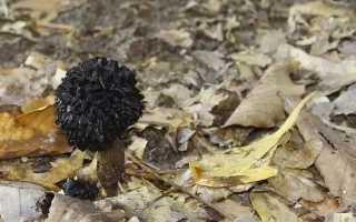 Сорт грибов Черный трюфель