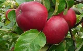 Сортовая характеристика яблони Веньяминовское