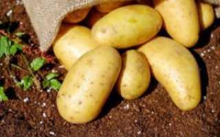 Голландский сорт картофеля коломбо