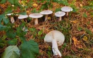 Описание гриба рядовка