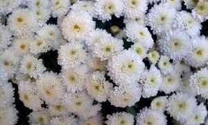 Цветы хризантемы: популярные сорта хризантем, размножение и выращивание осенних хризантем