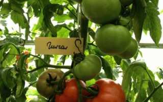 Помидор Галгал: описание и характеристика, особенности посадки и выращивания, болезни и вредители, достоинства и недостатки