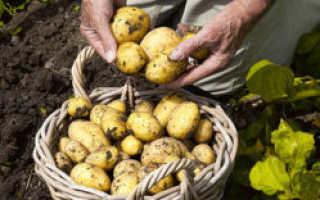 Характеристика картофеля сорта Каратоп