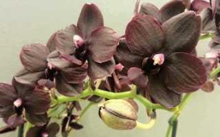 Сорт орхидеи Мультифлора