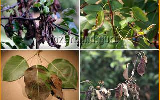 Чернеют краешки листьев у саженцев груши