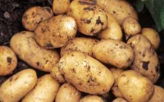 Описание картофеля Джувел