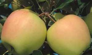 Яблоня Айнур: фото и описание сорта, отзывы садоводов