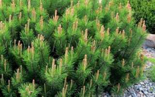 Горная сосна Пумилио — описание, правила посадки и ухода