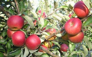 Сортовая характеристика яблони Джонатан