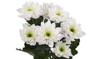 Chrysanthemum Chrysanthemums Zembla: Как культивировать в саду, популярные сорта