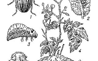 Колорадский картофельный жук