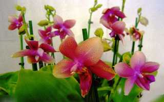 Орхидея Лиодоро и уход за ней