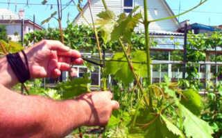Подвязывание виноградной лозы