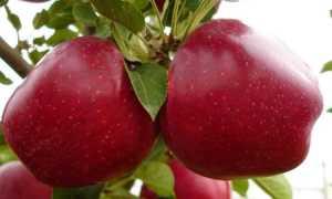 Характеристики и выращивание Geromini Apple, фото: | Информационный сад