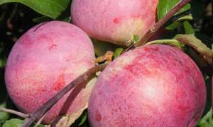 Яблоня Белорусское сорт малины: фото, отзывы, описание, характеристика