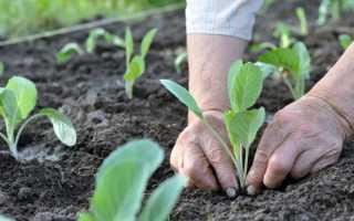 Каково расстояние между капустой при подсадке