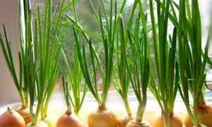 Сорта лука на зелень: выращивание, полив, тонкости посадки