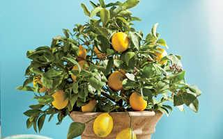 Причины скручивания листьев лимона