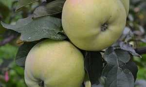 Куйбышевская яблоня: описание и фото сорта Самара, отзывы о нем