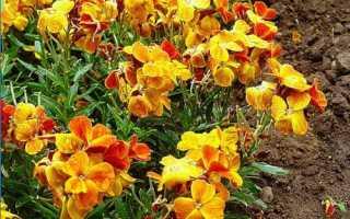 Heiranthus: Цветочные особенности и его выращивание