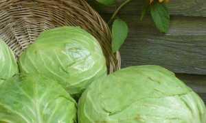Характеристика белокочанной капусты